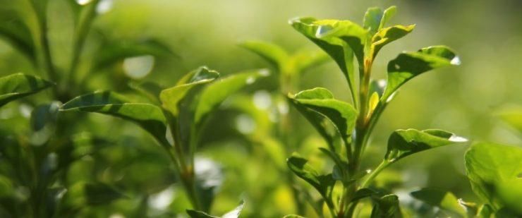 gezondheidsvoordelen groene thee